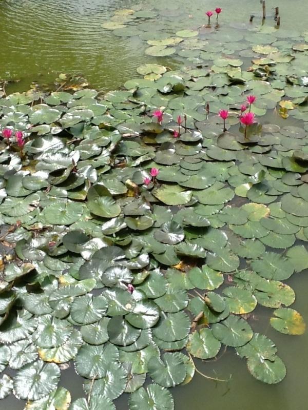 Nenúfares en el Parque Histórico de Sukhothai