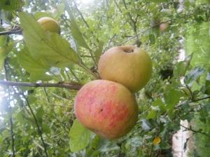 Manzanas de Muzkiz el día de la recogida.
