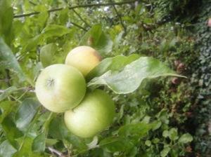 Diferentes variedades de manzanas hacen una receta espectacular.