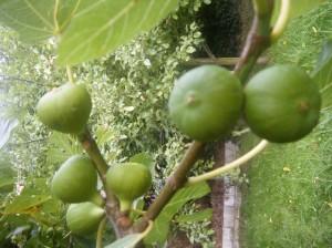 Mis higos en el árbol, primera tarea cogerlos.