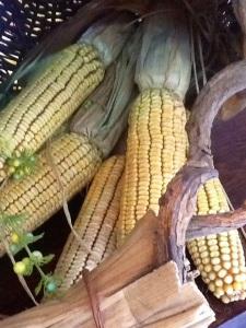 Recogiendo mazorcas de maiz